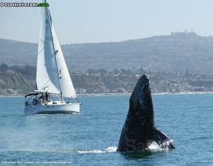 Breaching Gray Whale